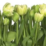 Behang Komar Flowers & Textures Tulips