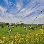 Behang Noordwand Holland 1016-250 Koeien In Wei