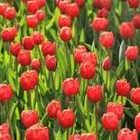 Behang Noordwand Holland 6224-250 Tulpen Rood