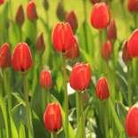 Behang Noordwand Holland 6226-250 Tulpen Rood II