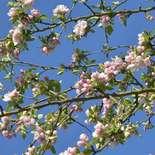 Behang Noordwand Holland 7888-250 Appelbloesem