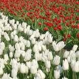 Behang Noordwand Holland 8123-250 Tulpenveld
