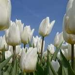 Behang Noordwand Holland 8179-250 Tulpen Wit
