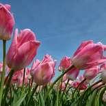 Behang Noordwand Holland 8184-250 Tulpen Rose